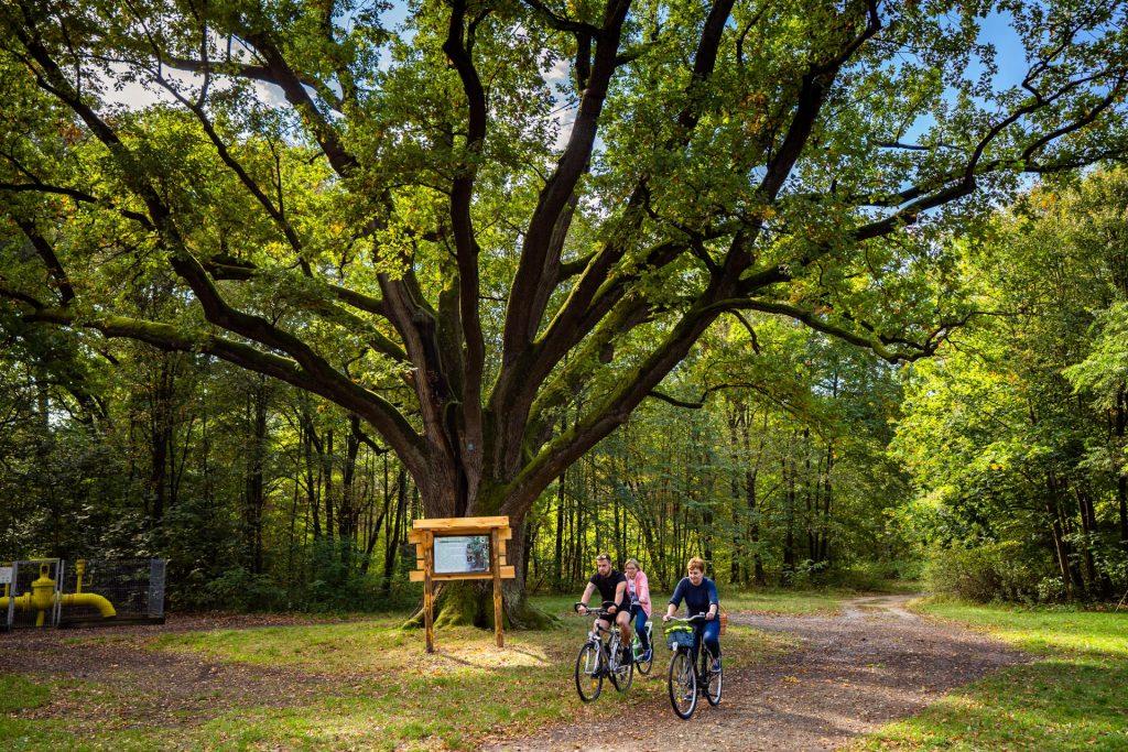 Dwie kobiety imężczyzna wśrednim wieku jadą narowerach. Ztyłu wielkie drzewo idrewniana tablica informacyjna